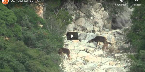 Mouflon Mars 2016