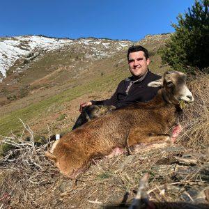 Mouflon à l'approche