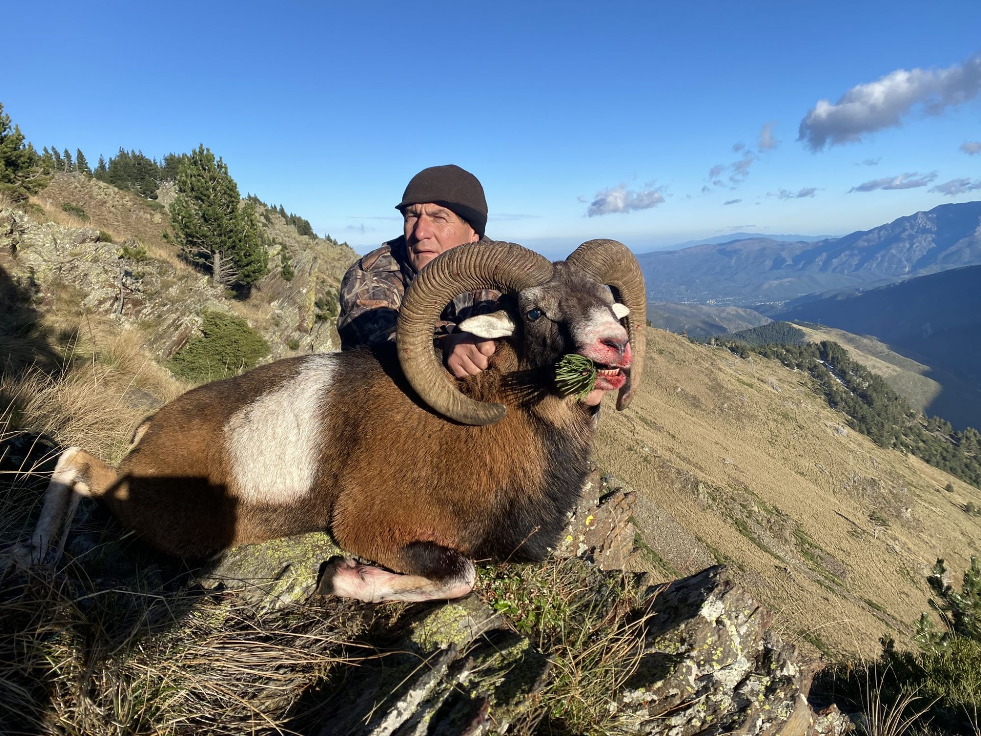 Gros mouflon Pyrénées-Orientale